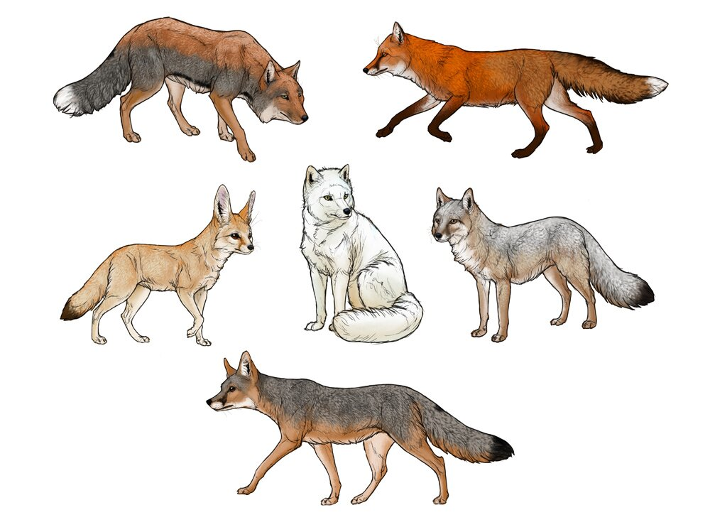 how-to-draw-foxes-steps-11