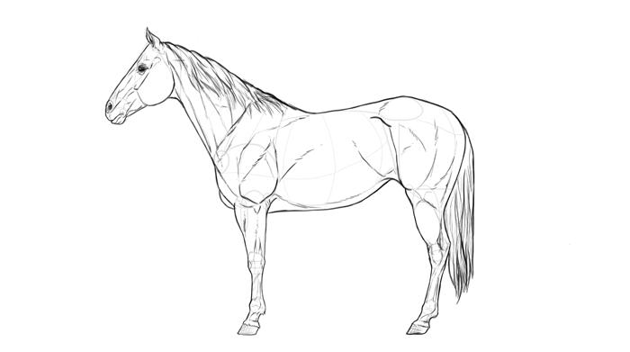 how-to-draw-horses-breeds-1-quarterhorse-2