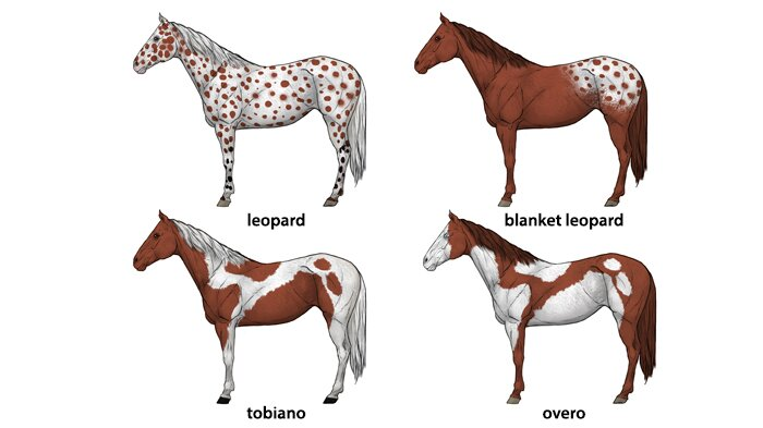 how-to-draw-horses-horse-coat-colors-patterns