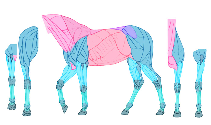 how-to-draw-horses-muscles