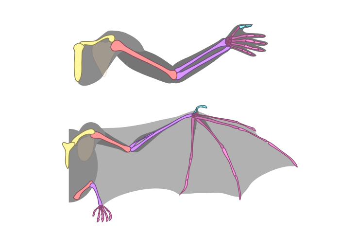 how-to-draw-wings-bat-bones