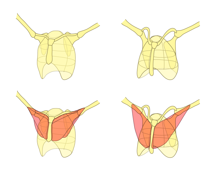 how-to-draw-wings-chest-bones-bat