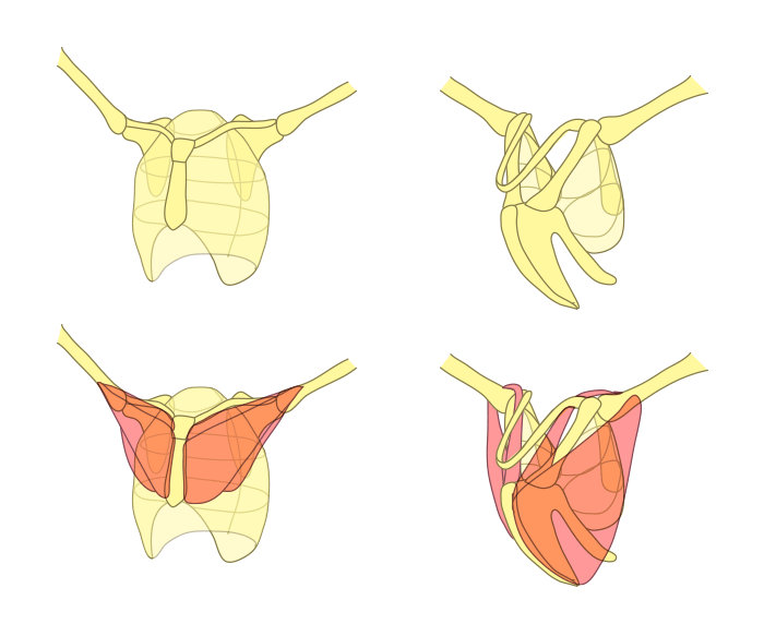 how-to-draw-wings-chest-bones-bird