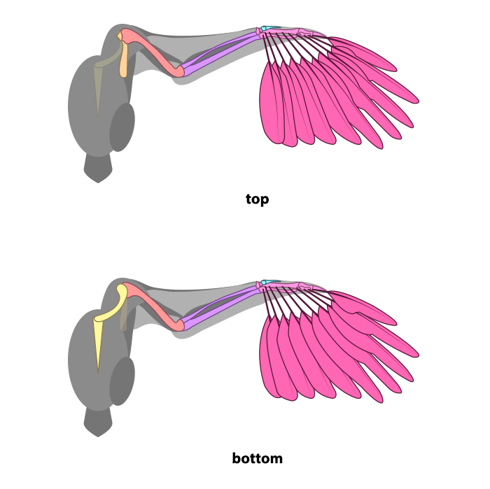 how-to-draw-wings-ventral-dorsal-bird-2