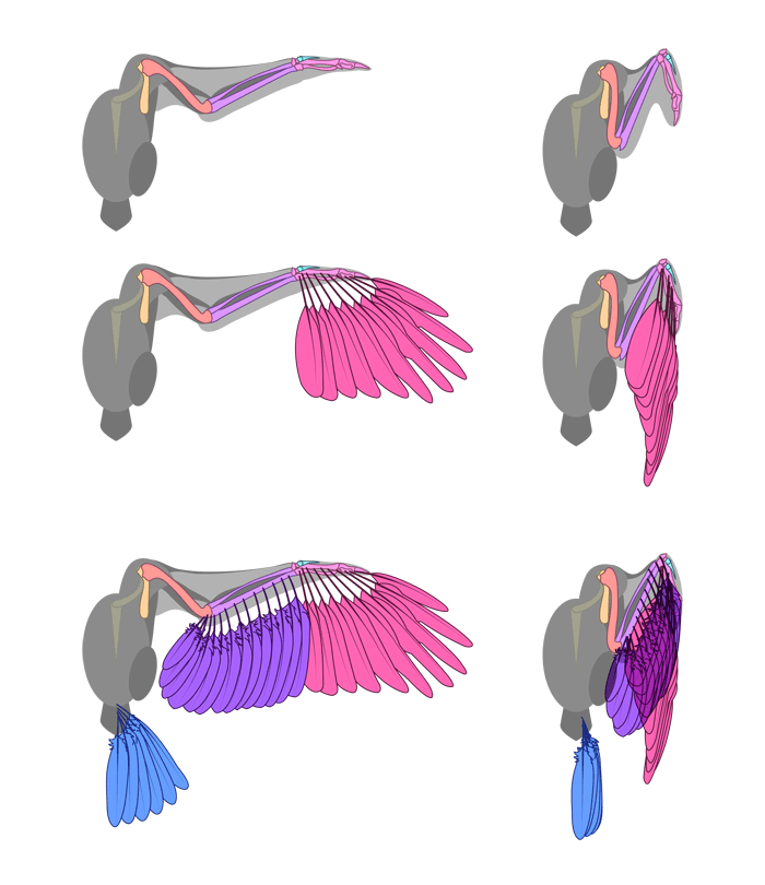 how-to-draw-wings-ventral-dorsal-bird-3-1