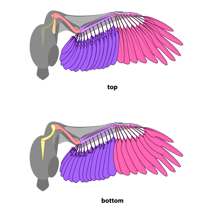 how-to-draw-wings-ventral-dorsal-bird-3