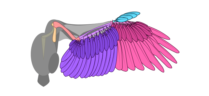 how-to-draw-wings-ventral-dorsal-bird-5-1