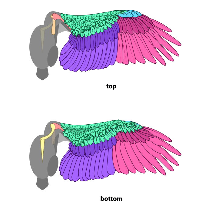 how-to-draw-wings-ventral-dorsal-bird-6