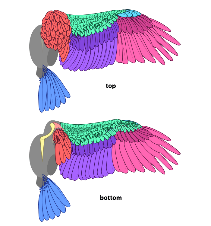 how-to-draw-wings-ventral-dorsal-bird-7