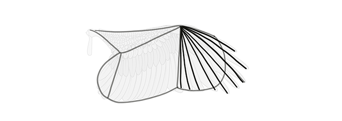 how-to-draw-wings-wing-step-by-step-7