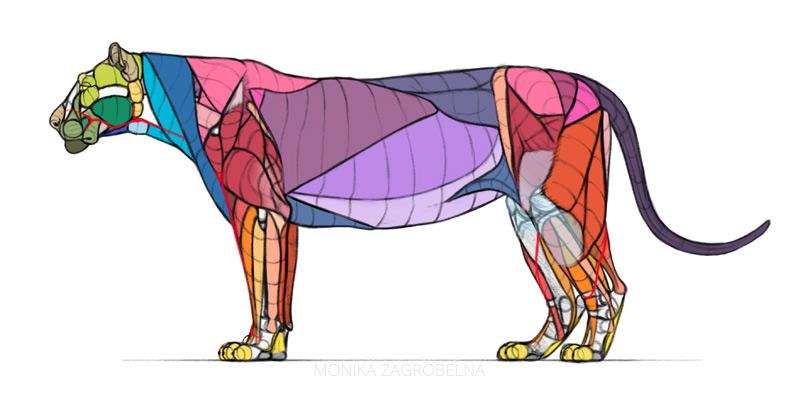 lion muscles diagram