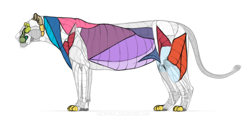 lion surface muscles