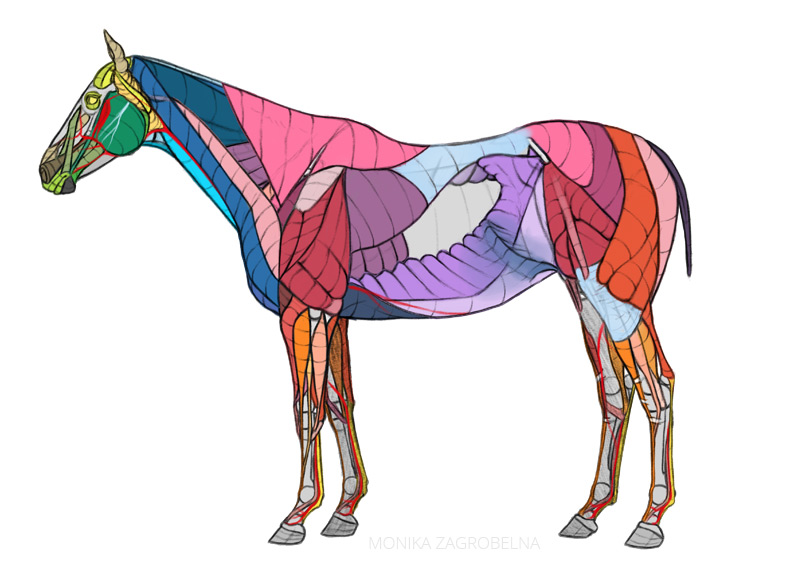 horse anatomy diagram for artists