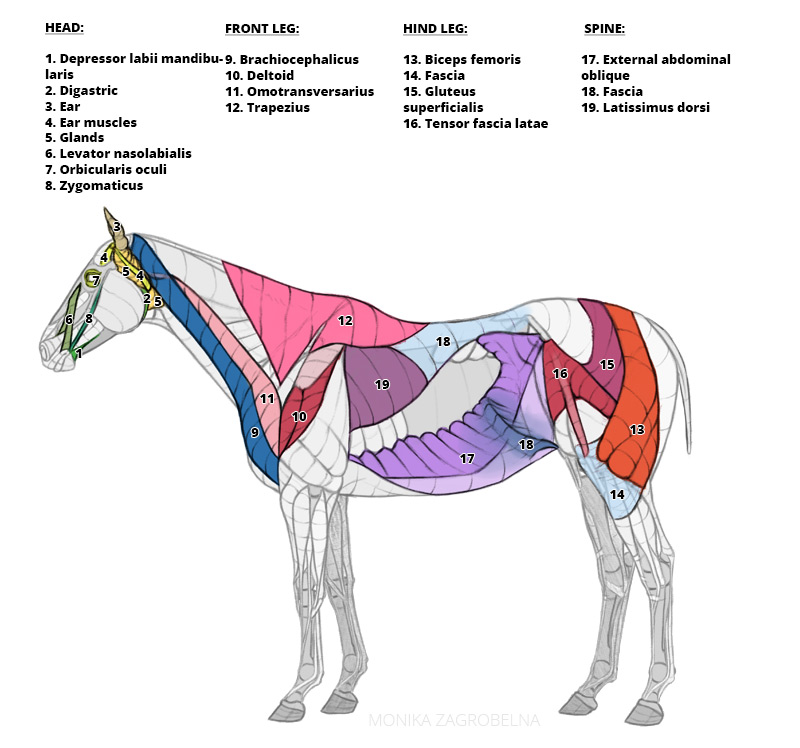 horse muscles with labels