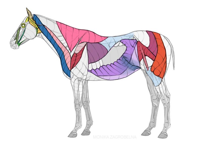 horse muscles diagram